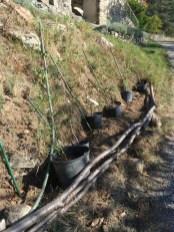 plantinghornbeams