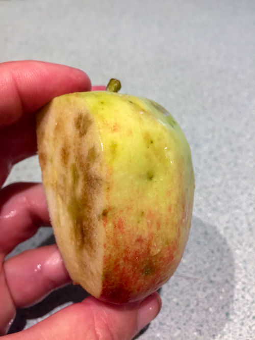apple fly maggot
