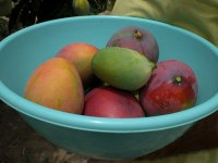 Mango frutta dal brasile