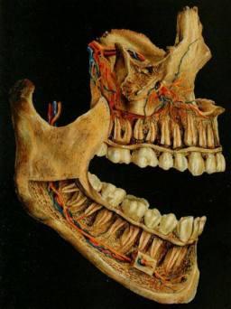 denti sostegno corpo