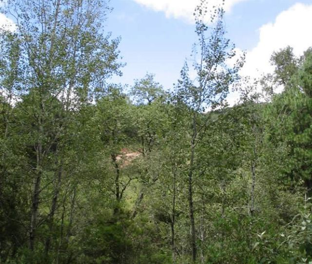 Aspen Trees Growing Along A Roadside In Central Mexico
