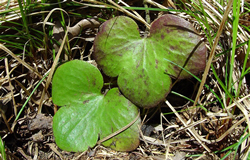 Leaves of Hepatica nobilis var. obtusa.