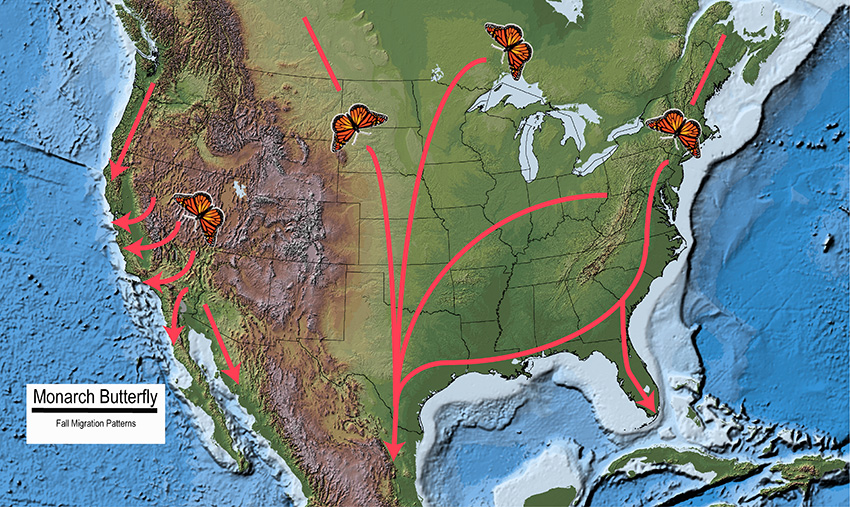 Map of North America showing the fall migration patterns of the Monarch butterfly.
