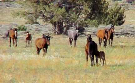 A herd of mares and foals graze the dry, late summer grass.