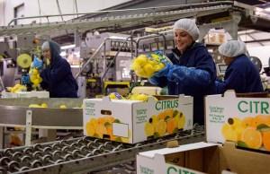 lemons in boxes