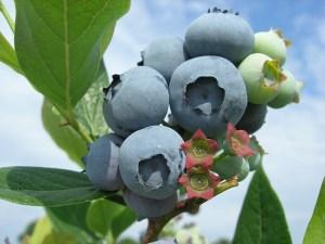 Fresh blueberries growing