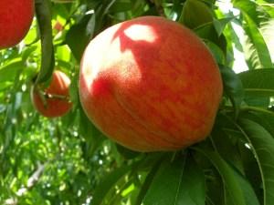 Fresh peach growing on the farm
