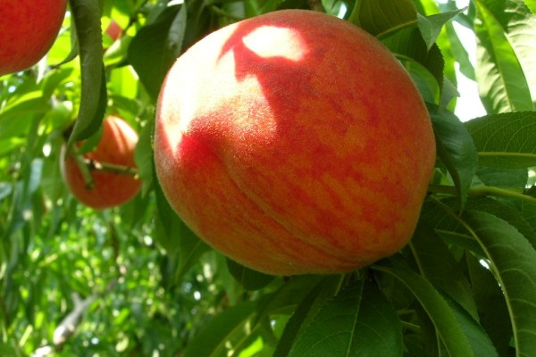 Fresh peach growing on the farm