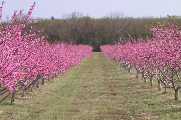 Pink trees in field of farm