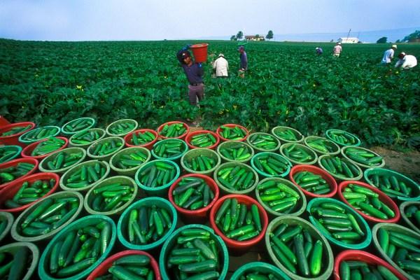 Cucumbers in buckets