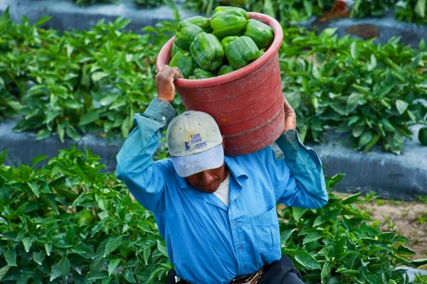 Man holding green peppers in a bucket walking in the fields of a farm