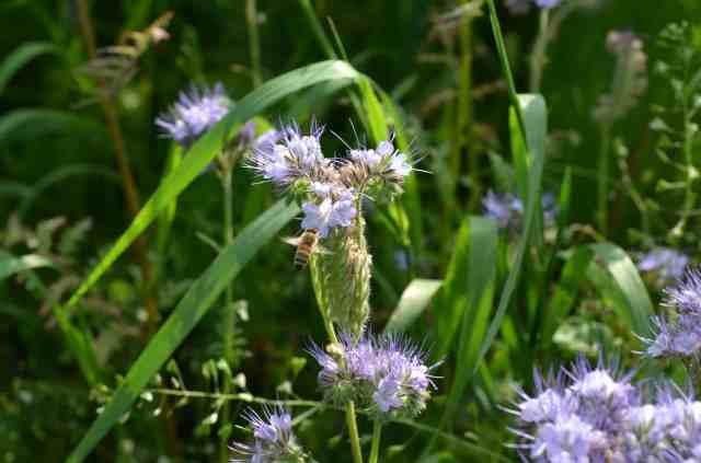 Första ramarna skördade men bina fortsätter samla. Här på min honungsfacelia som jag sådde just för det ändamålet.