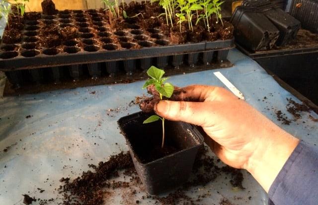 Man få göra en bra uppställning om det ska bli någon ordning på omplanteringen. När man ska plantera om chili ska de sättas djupt, ungefär till hjärtbladen blir bra.