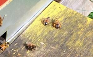 Pollen från olika växter har olika färg – det här biet med orange pollen har ganska säkert hämtat det från maskrosorna. Gult polen är svårare eftersom det kan komma från många olika växter.