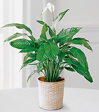 The FTD® Peace Lily Plant