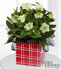 The FTD® Winter Whites Christmas Rose Plant by Better Homes and Gardens®