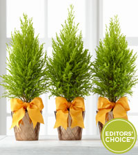 The FTD® Editor's Choice Glorious Fall Lemon Cypress Trio by Better Homes and Gardens®