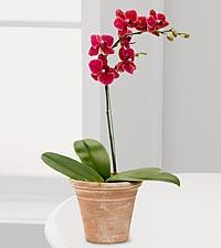 Crimson Skies Orchid