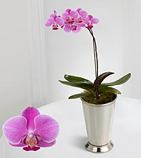 Smithsonian Beautiful Dreams Orchid