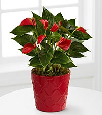Joyful Heart Christmas Plant