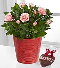 Love Blooms Mini Rose with Godiva® Chocolate Heart