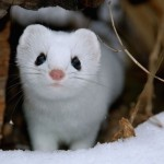Adorable Ermine in Snowy Landscape-10