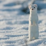 Adorable Ermine in Snowy Landscape-14