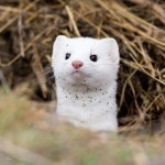 Adorable Ermine in Snowy Landscape-5