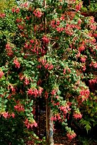 Fuchsia Glendale