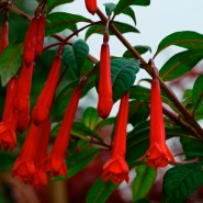 'Paul Berry' is the Fuchsia of the Week 19/2015.