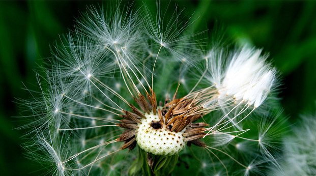 dandelion with some seeds blown away