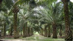 "Palm oil-derived biodiesel no longer a ""green fuel"" in the EU"