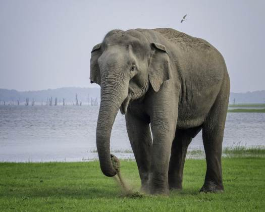 H elephant at Kaudulla by Duncan Gray