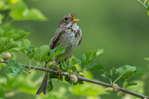 25 Corn Bunting In Song Laura Woods