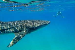26 Whaleshark Keith Vincent