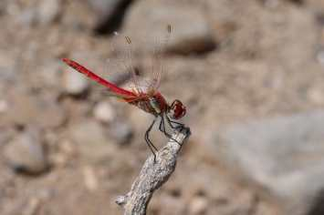 23 Red Darter Dave G Commended
