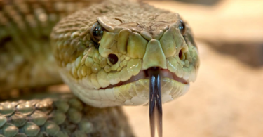 Man Finds 45 Rattlesnakes Under His House