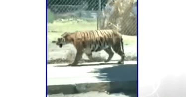 Mexican Police Seize Tigers
