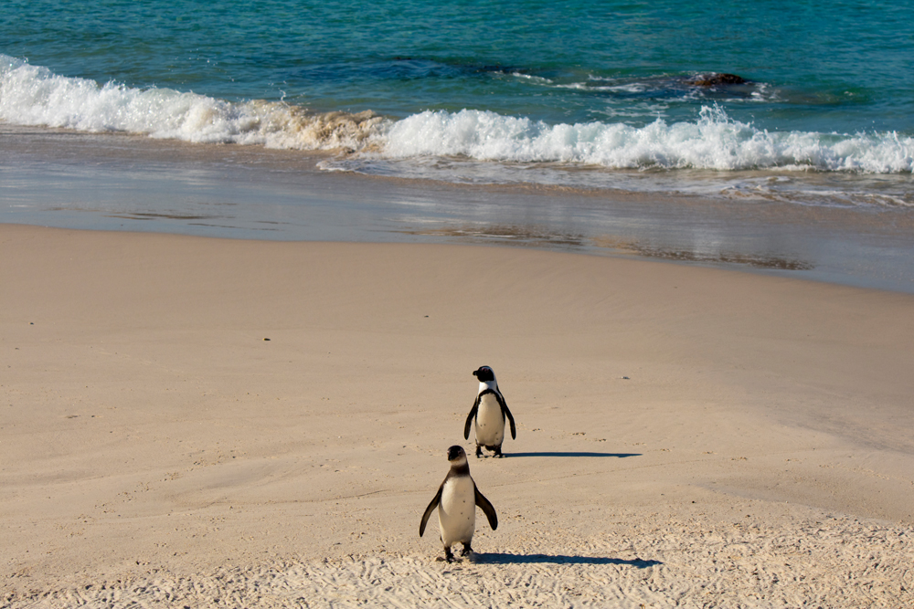 Pinguins de Boulders Beach