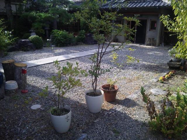 ゲストハウス藤原邸前庭のブルーベリーの木3本