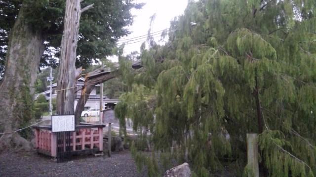 台風20号で倒れた梅田神社の名木ムロノキ