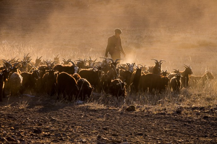 Nomads wake up early to start their daily routine. Just as the sun rises from horizon I spot this small herd and nomad attending to them. Perfect situation and perfect light. I hope I conveyed what it felt like to be there.