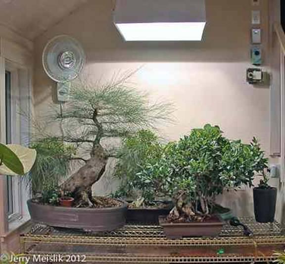 fuku bonsai