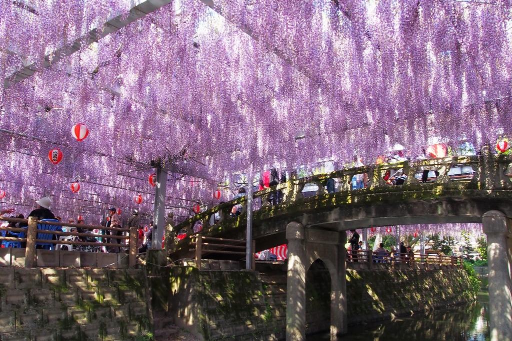 wisteria, fukuoka, japan