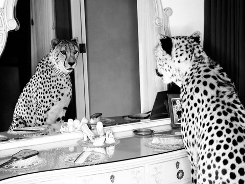 Cheetah Looking In Mirror Fine Art Print By Emma Rian At