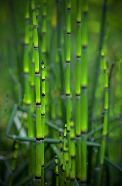 Green Reed by Scott Nelson