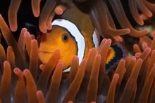 Clownfisch (Nemo)
