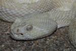 Klapperschlange Albino