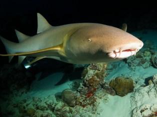 night dive shark maldives