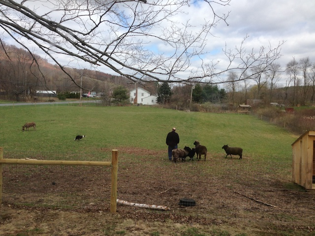 Jon and Red moving the sheep and donkeys to the back pasture